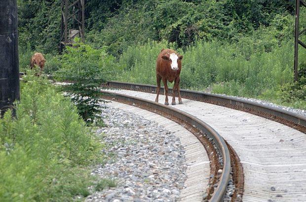 Грузовой поезд сбил корову в Анжеро-Судженске